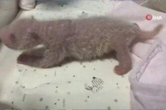 Çin'de panda ikiz doğurdu
